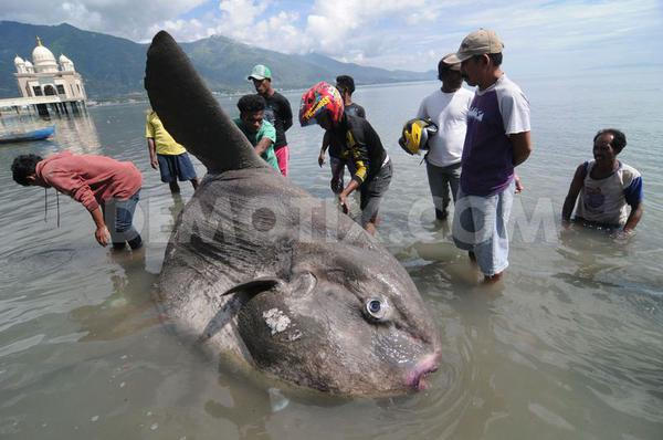 سمكة-كبيرة