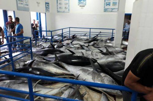 التونة