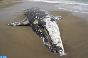epa07598612 A view of a gray whale carcass on the shore of Limantour Beach at Point Reyes National Seashore in California, USA, 24 May 2019. The marine mammal is the thirteenth dead whale that washed ashore in the San Francisco Bay Area since 10 March. Scientists feat that the incidents are sign of trouble with the species, and suspect starvation to be the cause of the beachings. EPA-EFE/JOHN G. MABANGLO