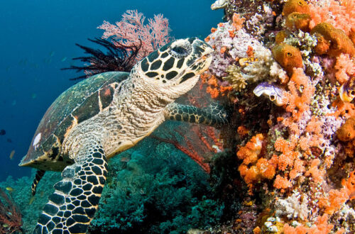 سلحفاة تسبح بين الشعاب المرجانية في مياه جزر ملديف. من موقع news.un.org